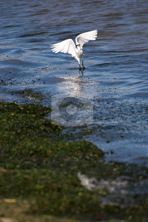Snowy Egret stock photo, A white snowy egret bird spreading its wings by the beach. by Todd Arena