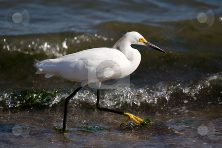 Snowy Egret stock photo, A young snowy egret bird walking along the beach as it hunts for small fish. by Todd Arena