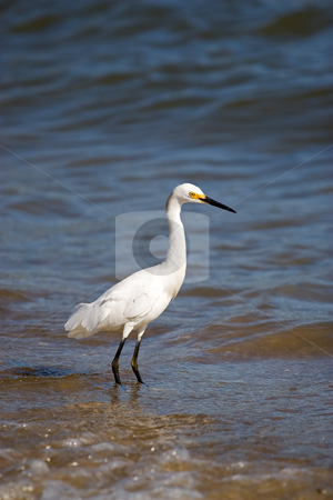 Snowy Egret stock photo, A white snowy egret bird standing by the sea shore. by Todd Arena