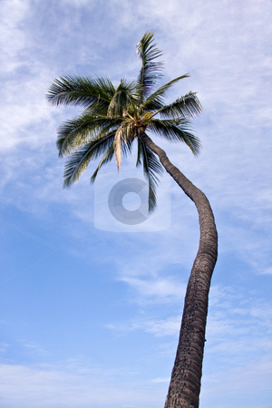 Single Palm tree framing a blue sky stock photo, Single Palm tree framing a blue sky by Steven Heap