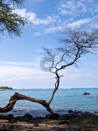 Hawaiian beach framed by single gnarled tree stock photo, Hawaiian beach framed by single gnarled tree by Steven Heap