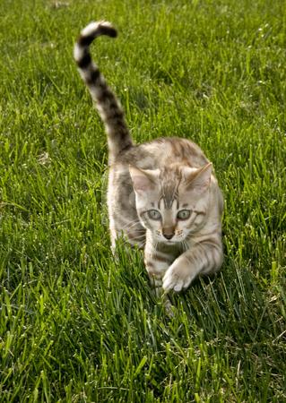 Bengal kitten creeping to camera stock photo, Young bengal kitten creeping towards the camera through long grass by Steven Heap