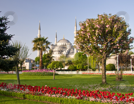 Blue mosque in Istanbul stock photo, Blue Mosque in Istanbul with red tulips and flowering tree in the foreground by Steven Heap