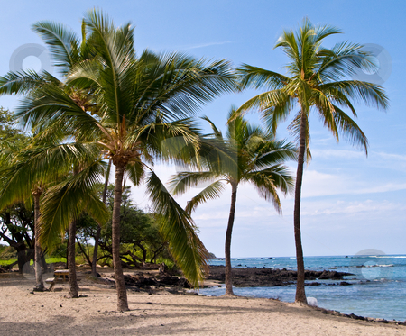 Palm trees on Hawaiian Beach stock photo, Group of palm trees on Hawaiian sandy beach by Steven Heap