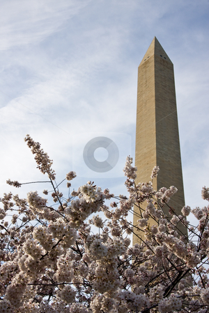 Washington Monument underpinned with Cherry Blossoms stock photo, Washington Monument with a layer of cherry blossom flowers at the base by Steven Heap
