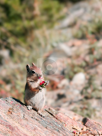 Chipmunk chewing a nut stock photo, Chipmunk in Colorado chewing a red fruit or nut and facing the camera by Steven Heap