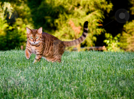 Orange bengal cat facing camera stock photo, Bengal cat staring at camera as it paces through the grass by Steven Heap