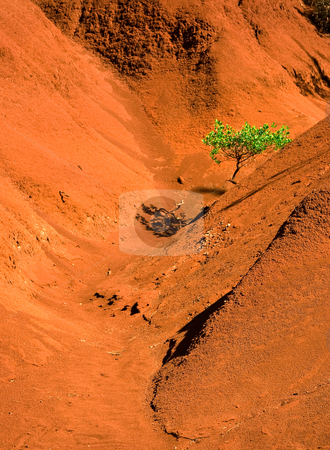 Lone green tree in red sand valley stock photo, Single green tree in the eroded red sand valley by Steven Heap