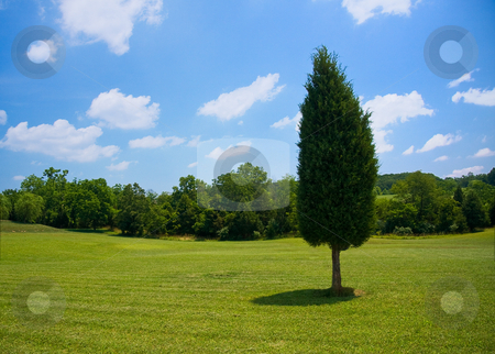 Single evergreen in meadow stock photo, Single evergreen tree in the lawn of a large garden with trees in the distance by Steven Heap
