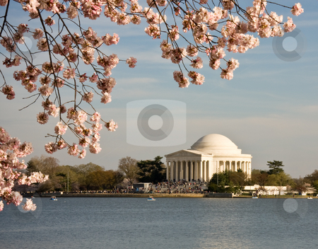 Cherry Blossom and Jefferson Monument stock photo, Jefferson Monument framed by cherry blossoms in April by Steven Heap