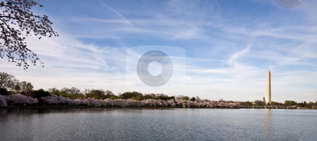Panorama of cherry blossoms stock photo, Panorama of Washington Monument with Cherry blossoms and Tidal Basin by Steven Heap