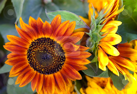 Orange sunshine stock photo, Orange sunflower for sale at the farmer's market by Gerry Daniel