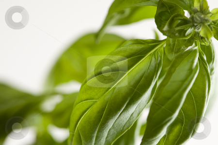 Fresh Basil Plant Leaves and Sprout Abstract stock photo, Fresh Basil Plant Leaves and Sprout Abstract Growing on the Vine. by Andy Dean
