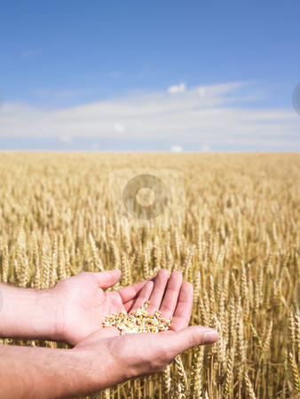 Hands and wheat stock photo, Close-up of hands holding wheat over field by Mog Ddl