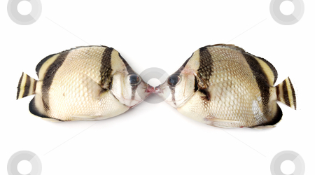 Kiss of fishes stock photo, Kiss of two fishes on white background by Nataliya Taratunina