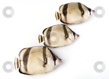 Three tropical fishes stock photo, Three tropical fishes on white background by Nataliya Taratunina
