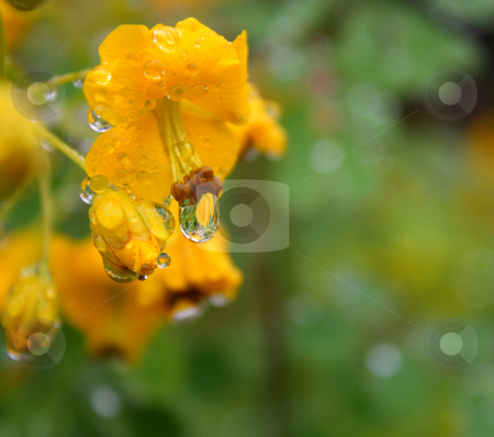 Cassias Closeup in the Rain stock photo, Close up cassias flowers with raindrops hanging from them. by Mark Carrel