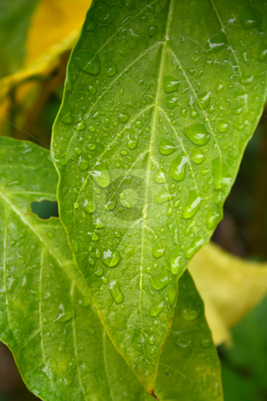 Green and Yellow Leaves in the Rain stock photo, Close up of large green and yellow leaves covered in rain drops by Mark Carrel