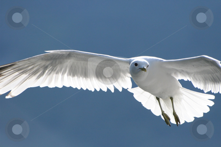 Seagull stock photo, White bird or seagull in flight and with it's wings spread out fully by Anders Peter