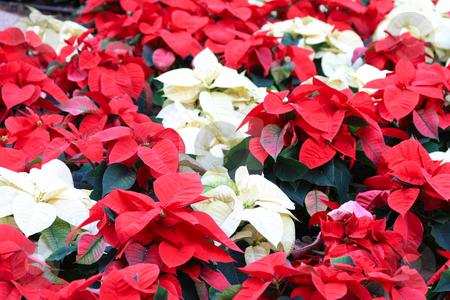 Red and white poinsettia stock photo, A group of red and white poinsettia, the christmas plant by Porto Sabbia
