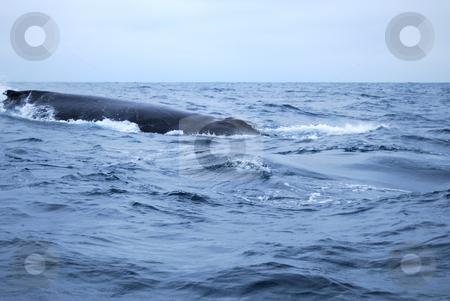 Humpbacked whale stock photo, The knobbly dorsal fin of a Humpbacked Whale, by Nataliya Taratunina