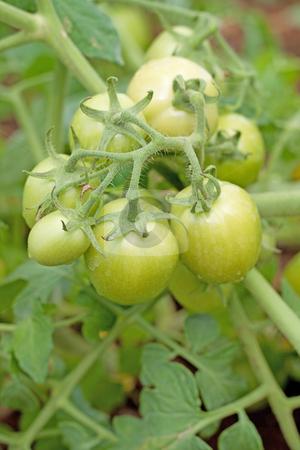 Closeup of green tomato stock photo, The tomato (Solanum lycopersicum, syn. Lycopersicon lycopersicum by Gowtum Bachoo