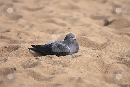 Urban pigeon stock photo, The warm sand feels good to rest by ARPAD RADOCZY