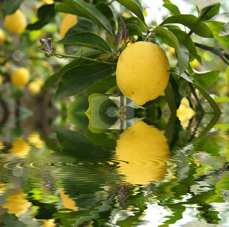 Lemon reflected stock photo, Yellow lemon with foliage is reflected on water with ripple by ANTONIO SCARPI