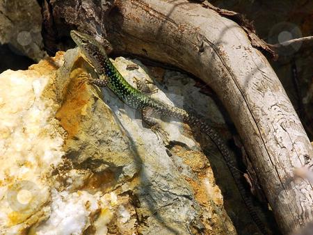 The stone lizard stock photo, The stone lizard is heated in beams of the sun by Vadim Tsyba