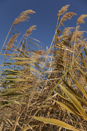 Reeds stock photo, Grass Reeds Against Blue Sky by Portokalis