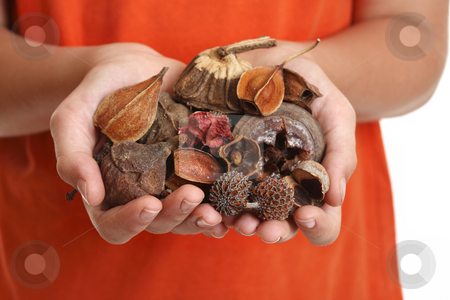 Handful of fragrant potpourri stock photo, Potpourri is a  scented mixture of dried, naturally fragrant plant materials such as seeds, dried flowers, bark, nuts, leaves and cones. by Leah-Anne Thompson