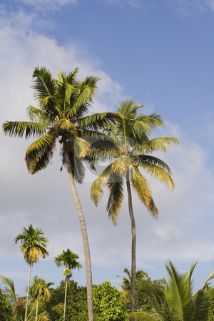 Kerala palms stock photo, Colorful kerala palm trees under a tropical blue sky by Mike Smith