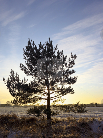 Winter pine stock photo, A single pine tree on a colorful winter evening by Mike Smith