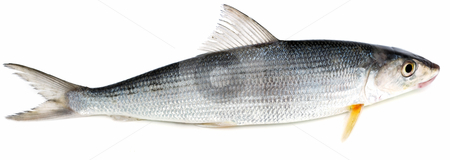 Fresh sea fish stock photo, Fresh sea fish on a white background by Nataliya Taratunina