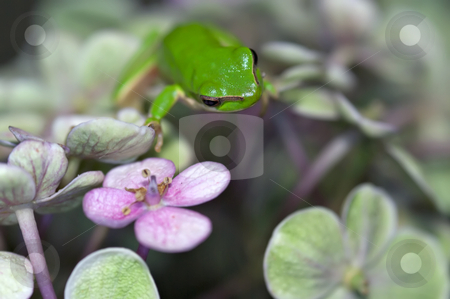 Climbing stock photo, A dwarf green tree frog climbs through a forest or jungle of large flowers by Phil Morley