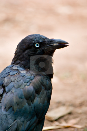 Australian raven stock photo, A crow (australian raven) looks back over its shoulder to see what is behind it by Phil Morley