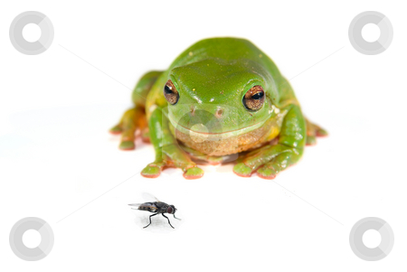 Green tree frog on white stock photo, A green tree frog (litoria caerula) isolated on white background by Phil Morley