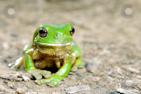 Green tree frog stock photo, Litoria caerula - green tree frog on ground by Phil Morley