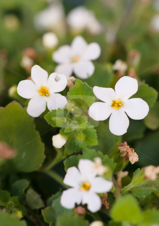 Little white flowers stock photo, Tiny little white flowers make a great spring backdrop by Phil Morley