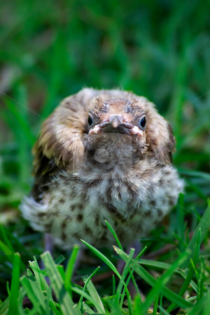 Bird fallen from nest stock photo, A little baby miner bird that has fallen from the nest and is sitting staring at the camera by Phil Morley