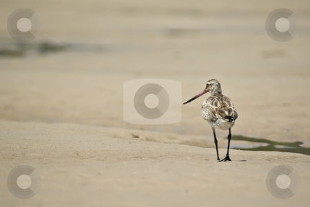 Just walk away stock photo, Sand piper walks away narrow dof only head in focus by Phil Morley