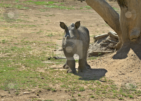 Baby rhino stock photo, Photo of a very cute baby rhinoceros by Phil Morley