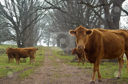 Cows on the road stock photo, Cows on the old dirt road on the farm by Phil Morley