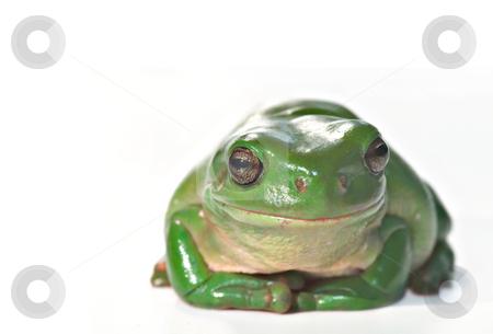 Caerula sitting stock photo, Litoria caerula, green tree frog isolated on white background by Phil Morley