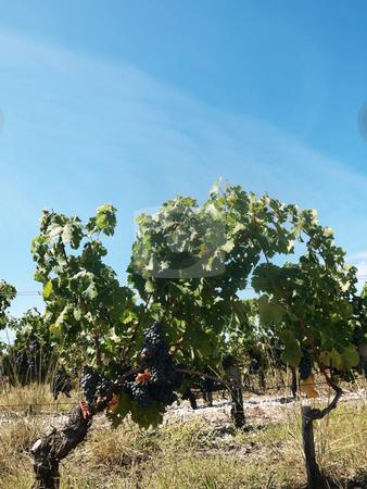 Vineyard stock photo, French vineyard around Saint Emilion by Laurent Dambies