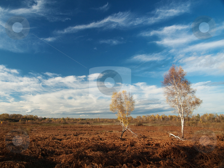 Birch trees stock photo, Two birch trees in a fern field by Laurent Dambies