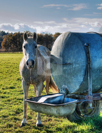 Horse drinking stock photo, White horse just finishing drinking from a water point by Laurent Dambies