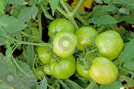 Green tomatoes closeup stock photo, Close up image of green tomato plants. by Gowtum Bachoo