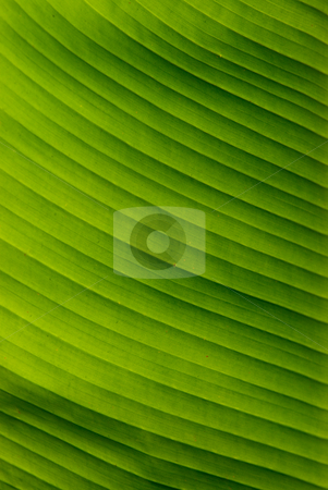 Banana leafs stock photo, Die Bananen (Musa) sind eine Pflanzengattung in der Familie der Bananengew?chse (Musaceae). - Banana is the common name for herbaceous plants of the genus Musa and for the fruit they produce. by Wolfgang Heidasch