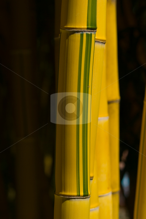 Bambus - Bamboo stock photo, Bambus (Bambuseae) ist eine vielgestaltige Tribus aus der Unterfamilie der Bambusgew?chse (Bambusoideae) - The bamboos are a group of woody perennial evergreen plants in the true grass family Poaceae, subfamily Bambusoideae, tribe Bambuseae. by Wolfgang Heidasch